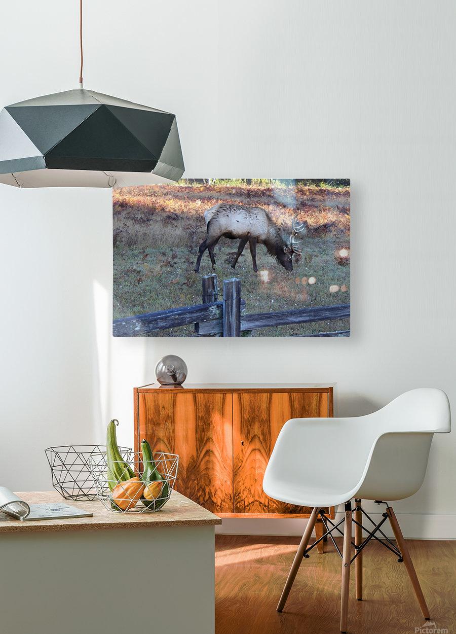 Bowing Elk  HD Metal print with Floating Frame on Back