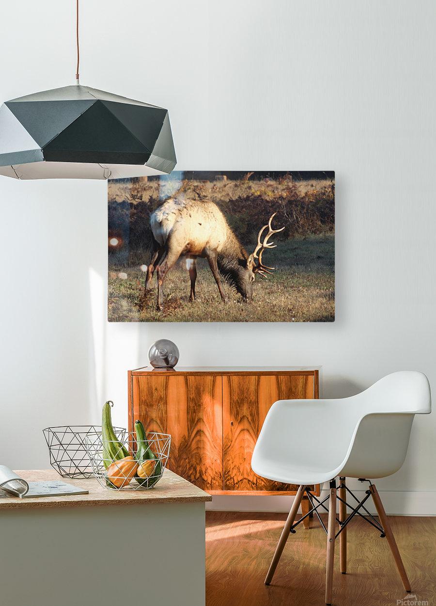 Roosevelt Elk  HD Metal print with Floating Frame on Back