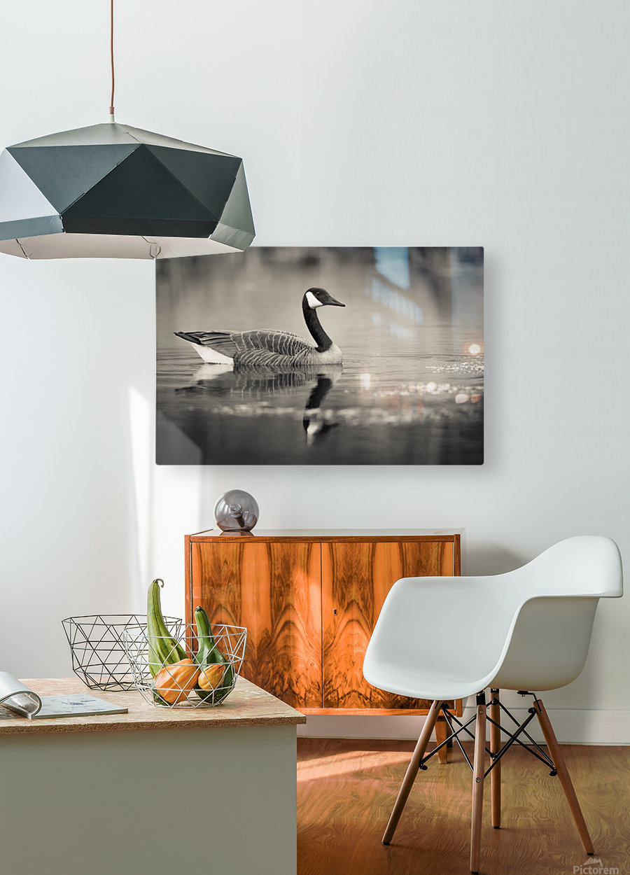 Canada Goose - 2  HD Metal print with Floating Frame on Back