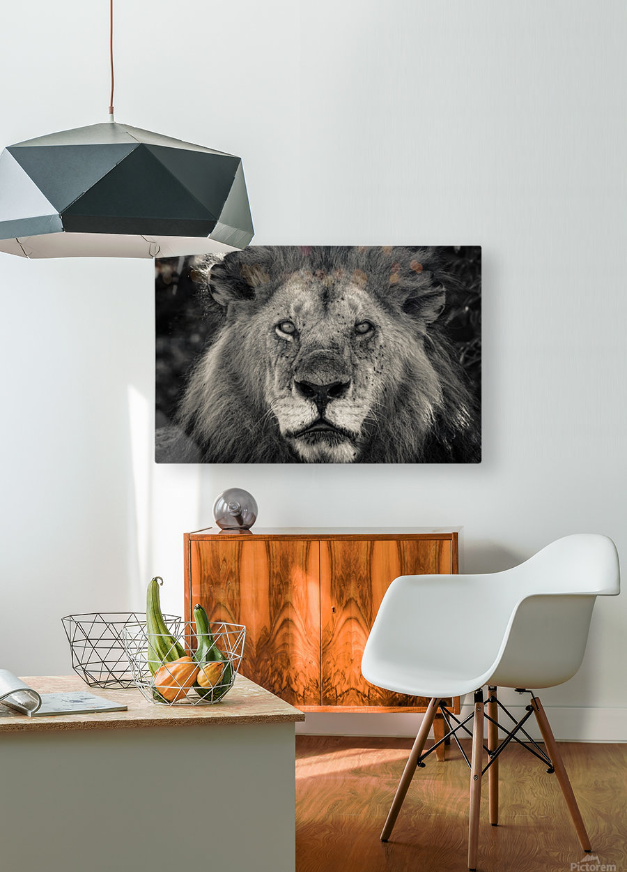 The King of South Africa - 1  HD Metal print with Floating Frame on Back