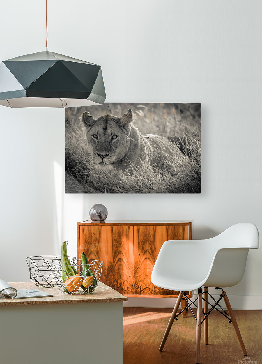 Lioness in the sun  HD Metal print with Floating Frame on Back