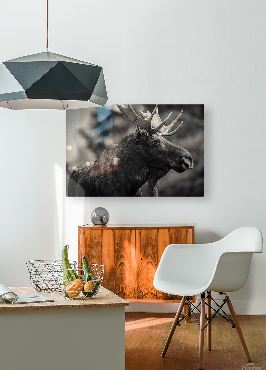 Moose Portrait - 2  HD Metal print with Floating Frame on Back