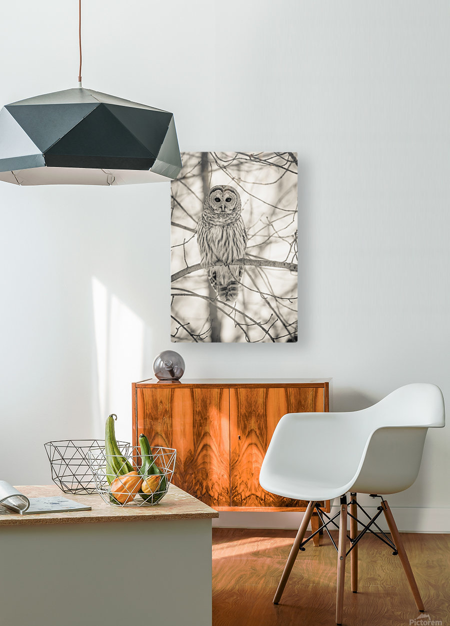 Spotted Owl - 1   HD Metal print with Floating Frame on Back