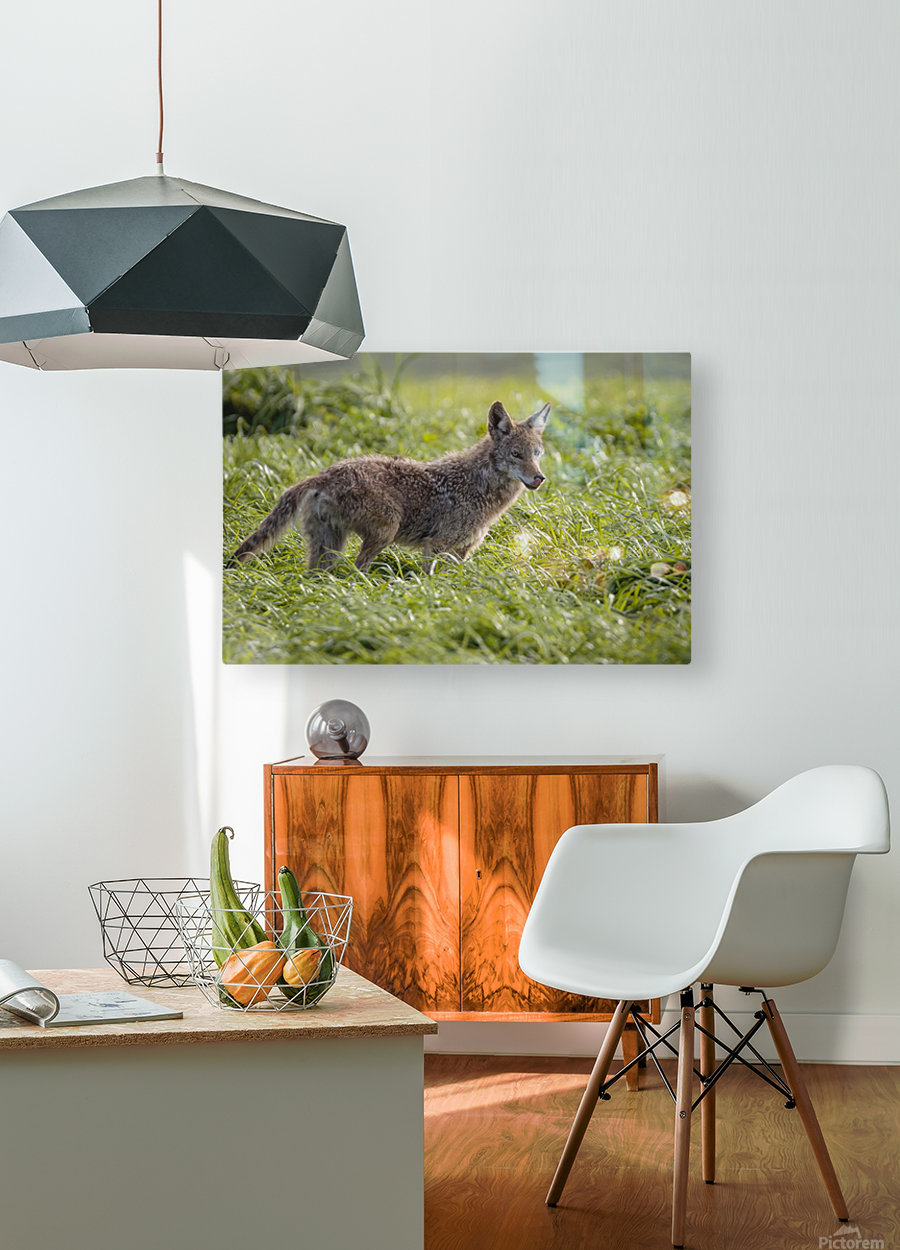 Coyote Pretty  HD Metal print with Floating Frame on Back