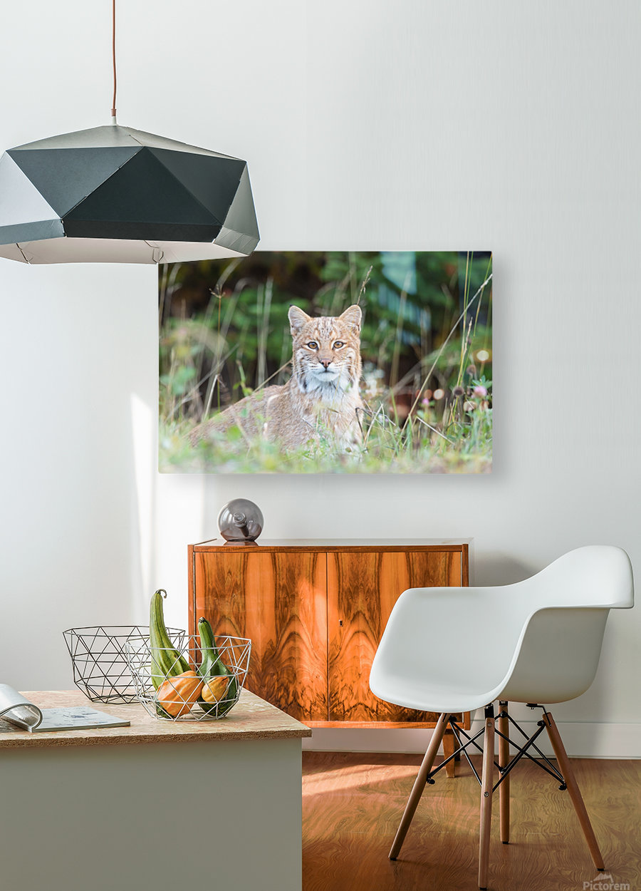 Wild Bobcat  HD Metal print with Floating Frame on Back
