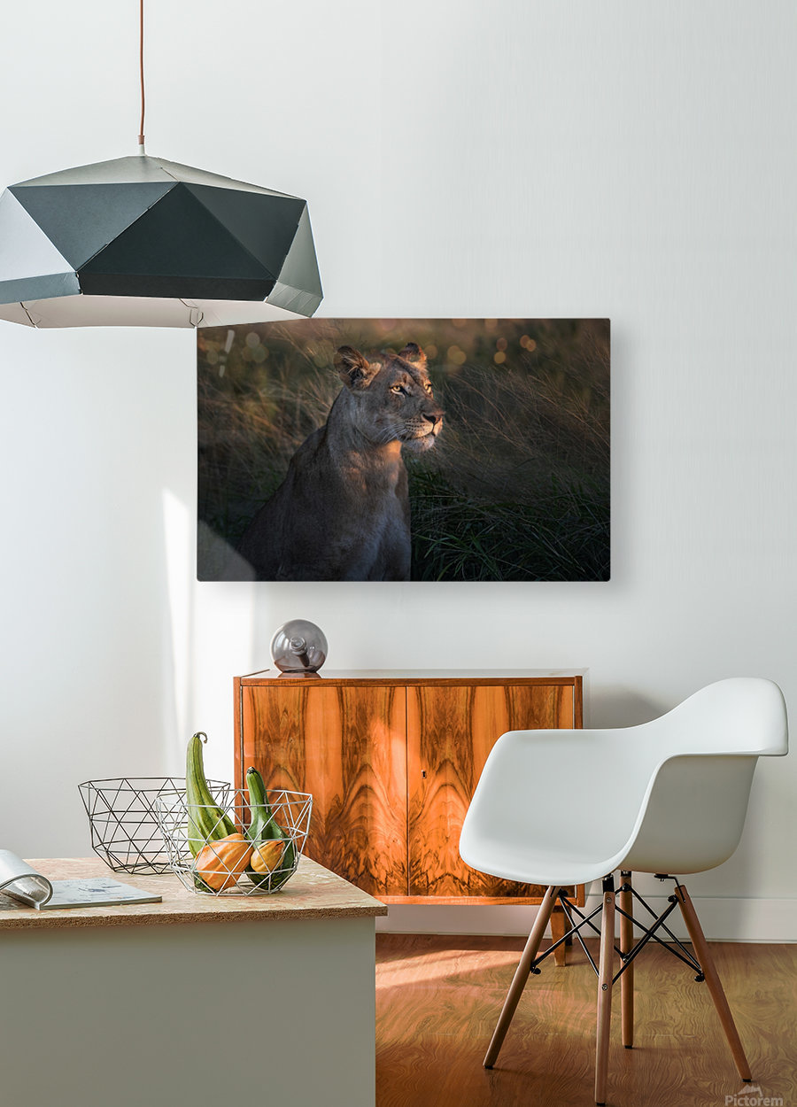 Lioness at firt day ligth  HD Metal print with Floating Frame on Back