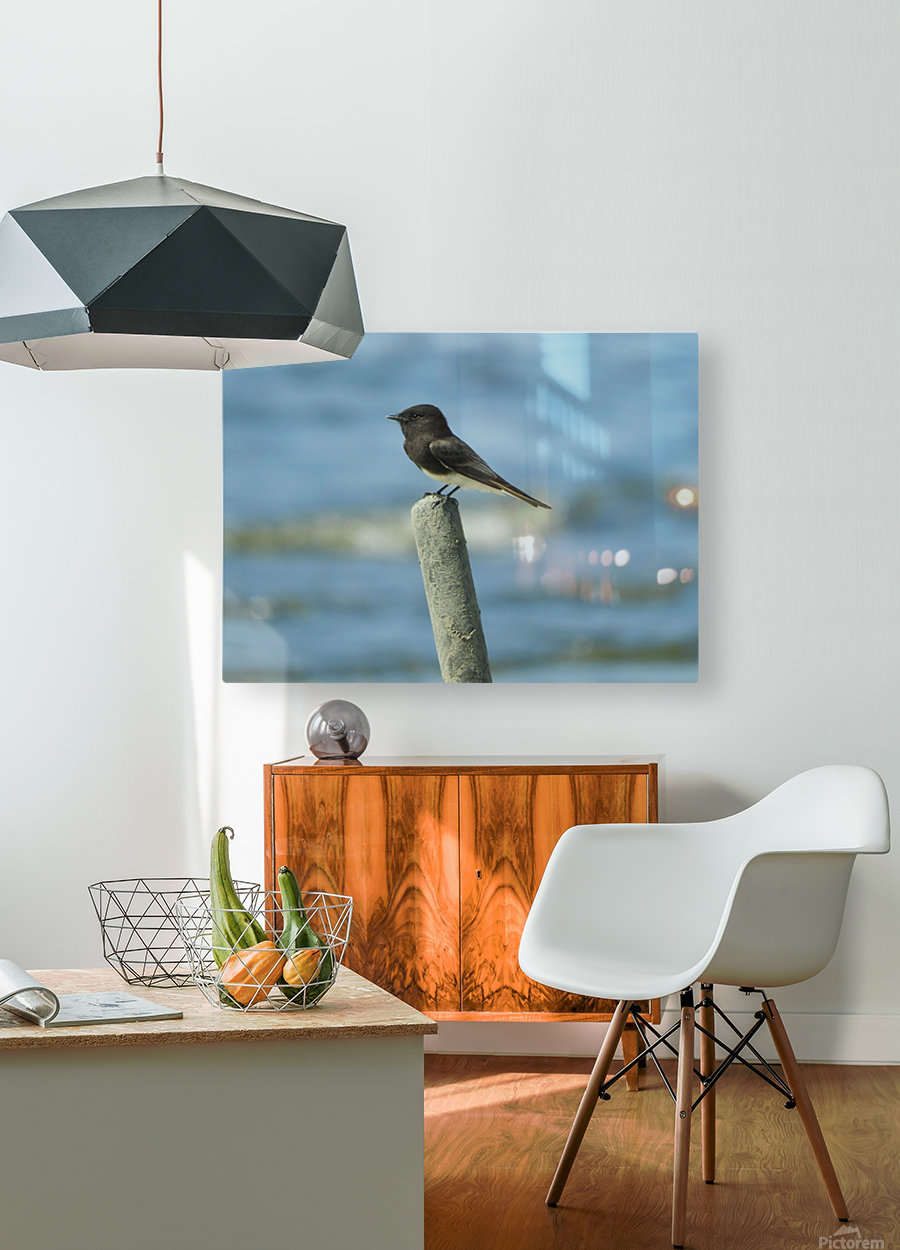 Black  Phoebe  HD Metal print with Floating Frame on Back