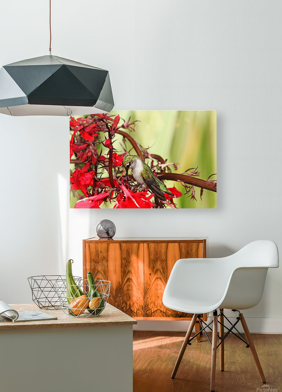 Hummingbird Giving Thanks  HD Metal print with Floating Frame on Back