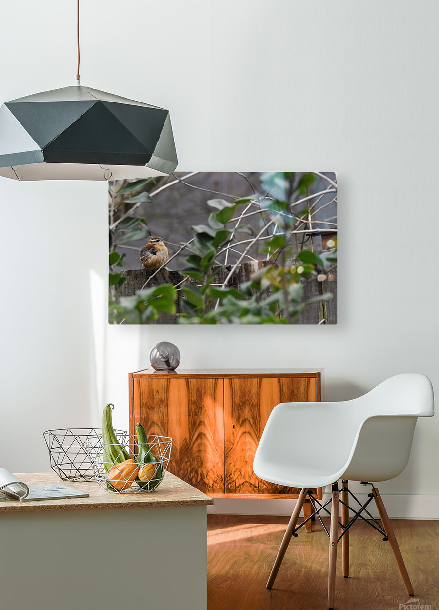 Young Carolina Wren  HD Metal print with Floating Frame on Back