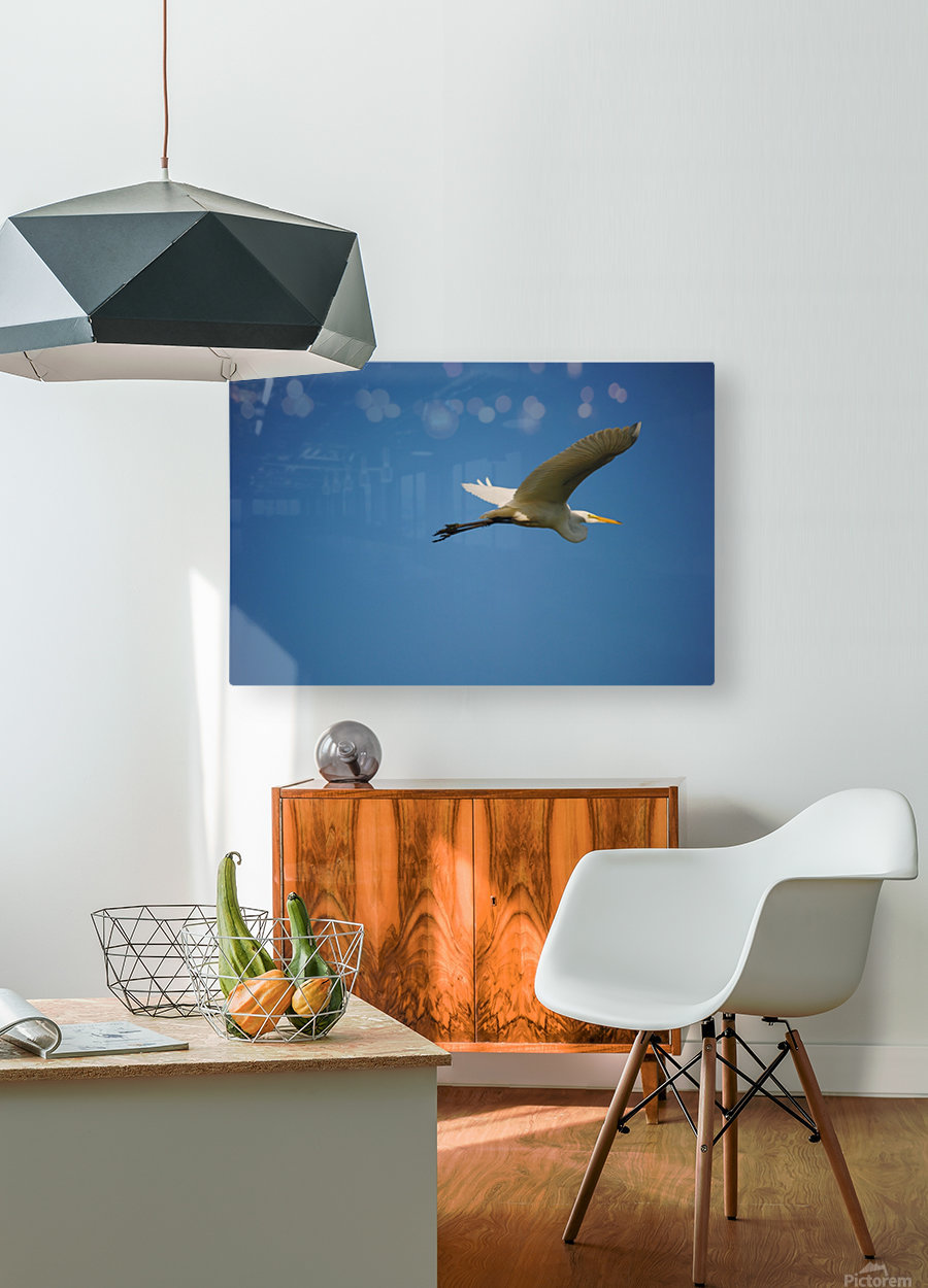 Egret Flying  HD Metal print with Floating Frame on Back