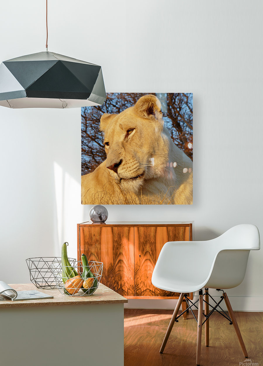 White Lioness Sunset 593  HD Metal print with Floating Frame on Back