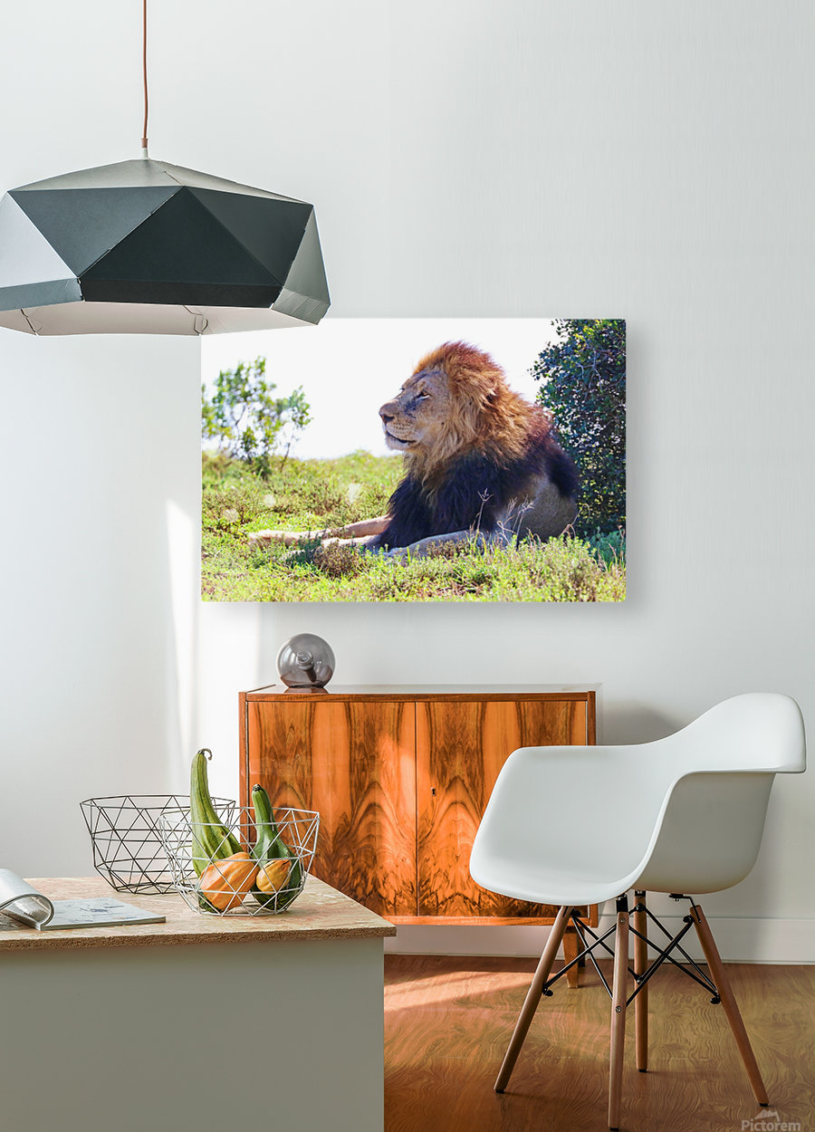 Lion Male in Addo 9240  HD Metal print with Floating Frame on Back