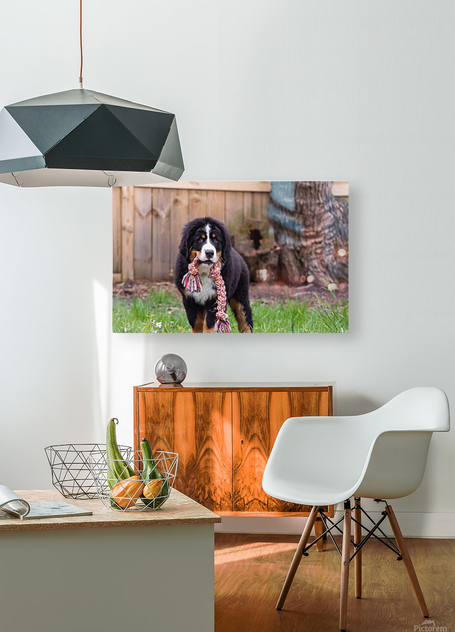 Bernese Mountain Dog Puppy 8  HD Metal print with Floating Frame on Back