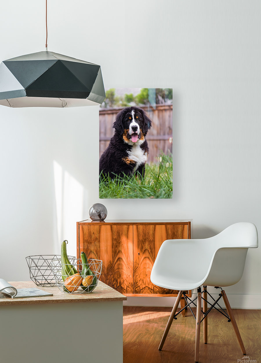 Bernese Mountain Dog Puppy 1  HD Metal print with Floating Frame on Back