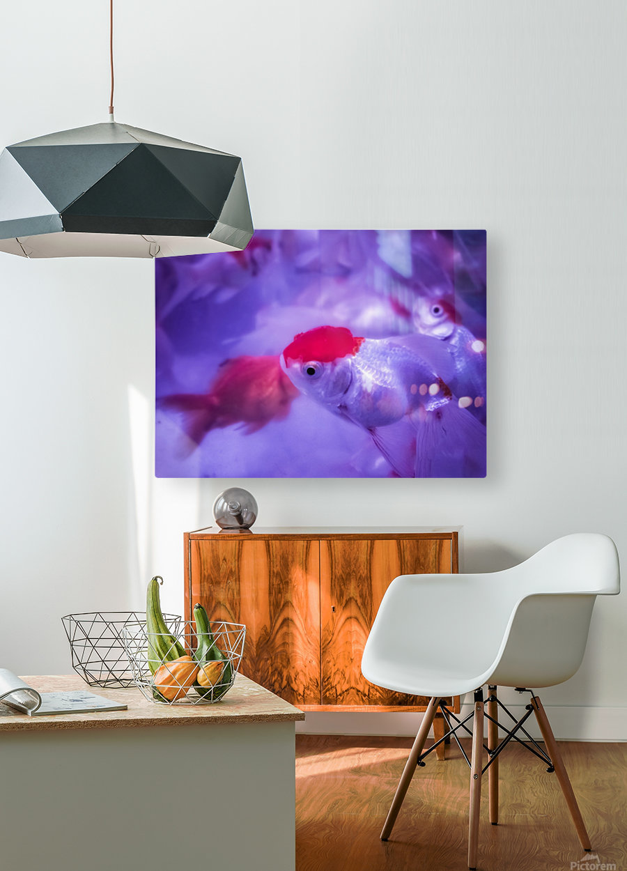 Golden Fish   HD Metal print with Floating Frame on Back