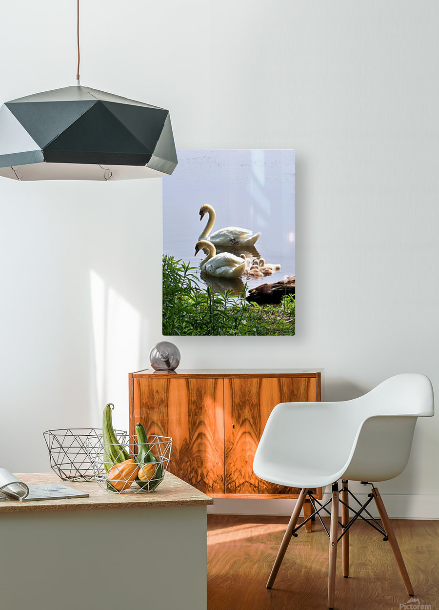 Swans and Sygnets on lake  HD Metal print with Floating Frame on Back