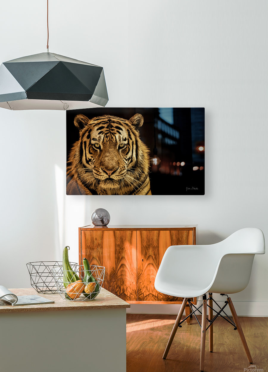 Massive Siberian Amur Tiger   HD Metal print with Floating Frame on Back