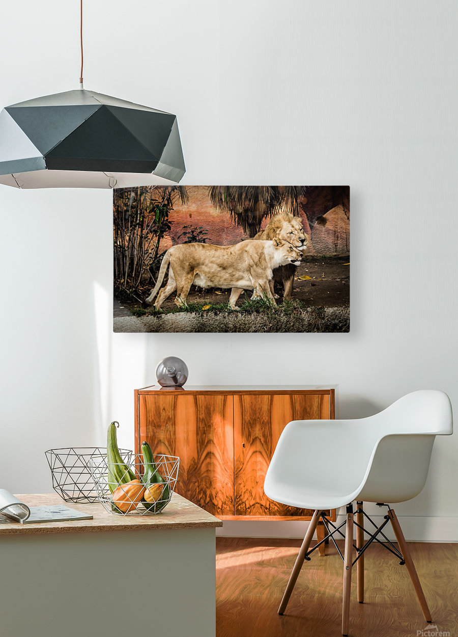 The Loving Lion Couple  HD Metal print with Floating Frame on Back