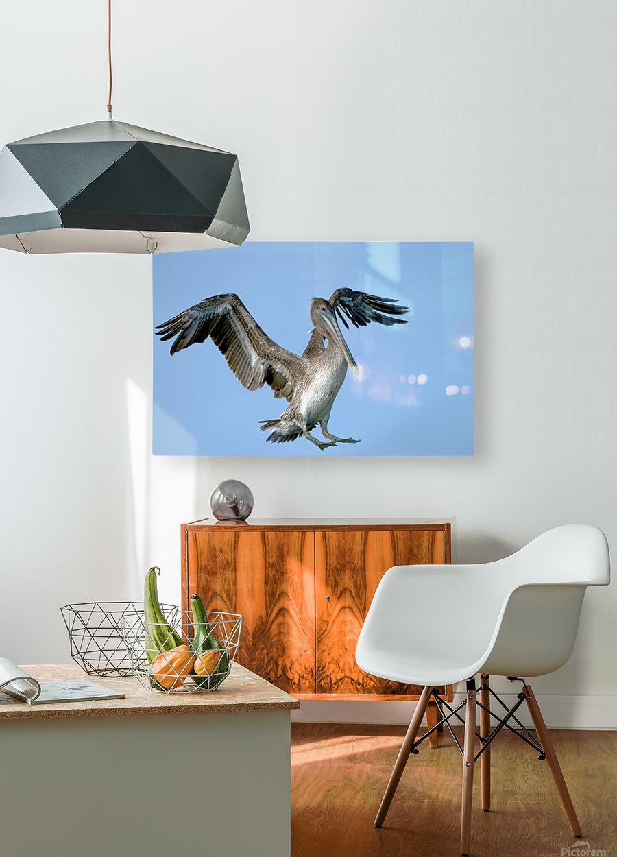 Arriving: Brown Pelican  2509  HD Metal print with Floating Frame on Back