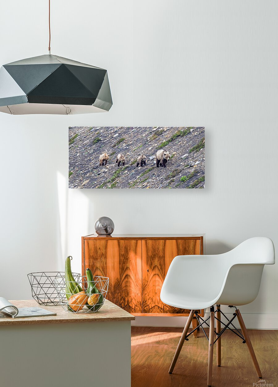 Grizzly Bear Family - Walk this way.  Kananaskis Country Alberta. Canada  HD Metal print with Floating Frame on Back
