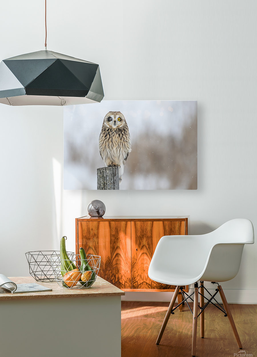 Short Eared Owl - Wink  HD Metal print with Floating Frame on Back