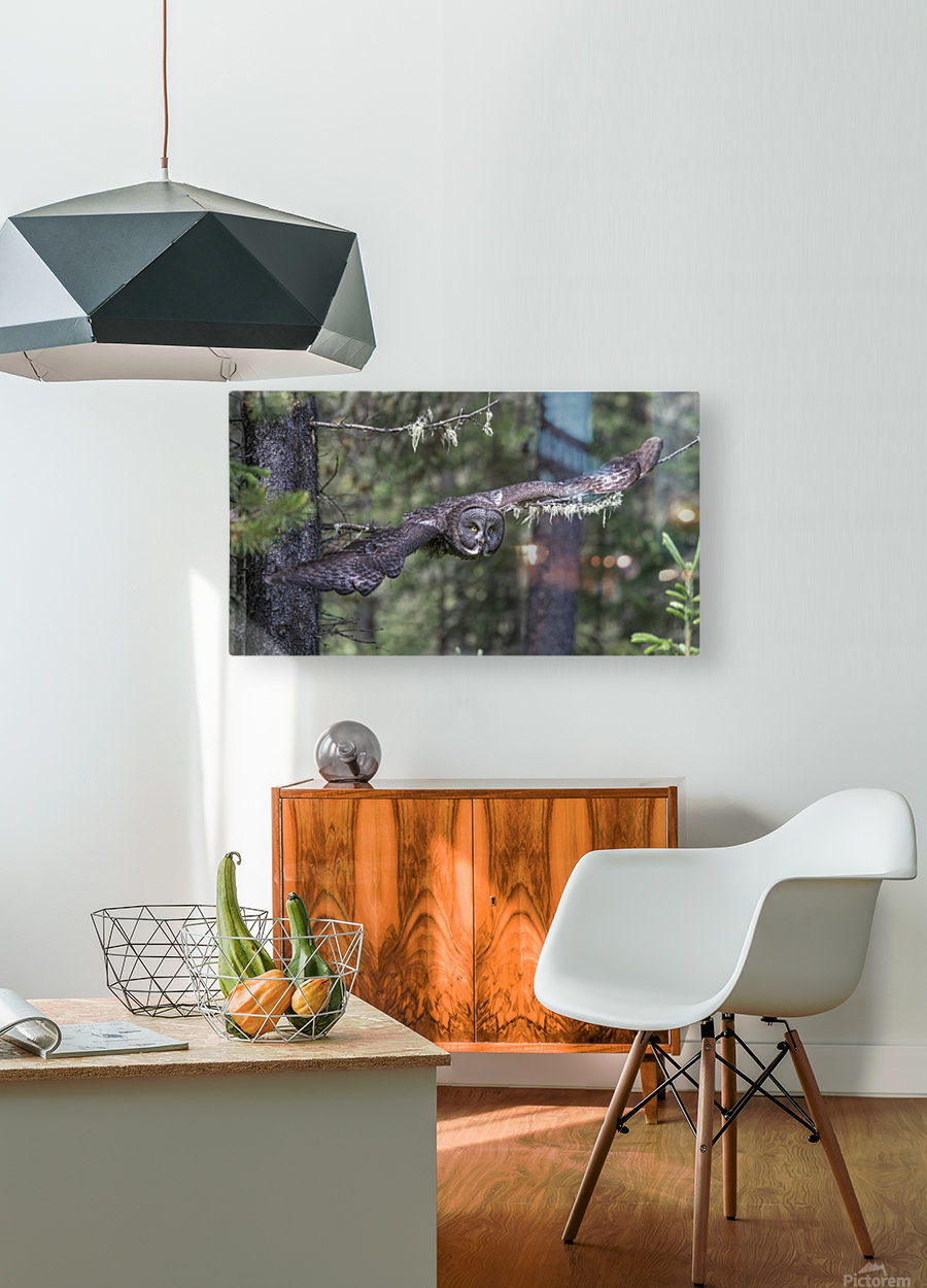 Great Grey Owl - Wing Span  HD Metal print with Floating Frame on Back