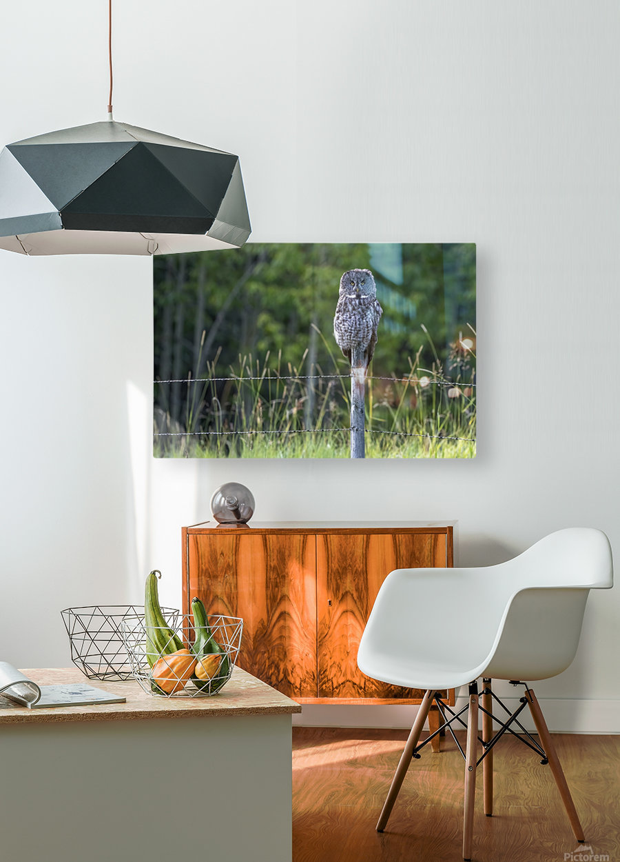 Great Grey Owl - Henry  HD Metal print with Floating Frame on Back