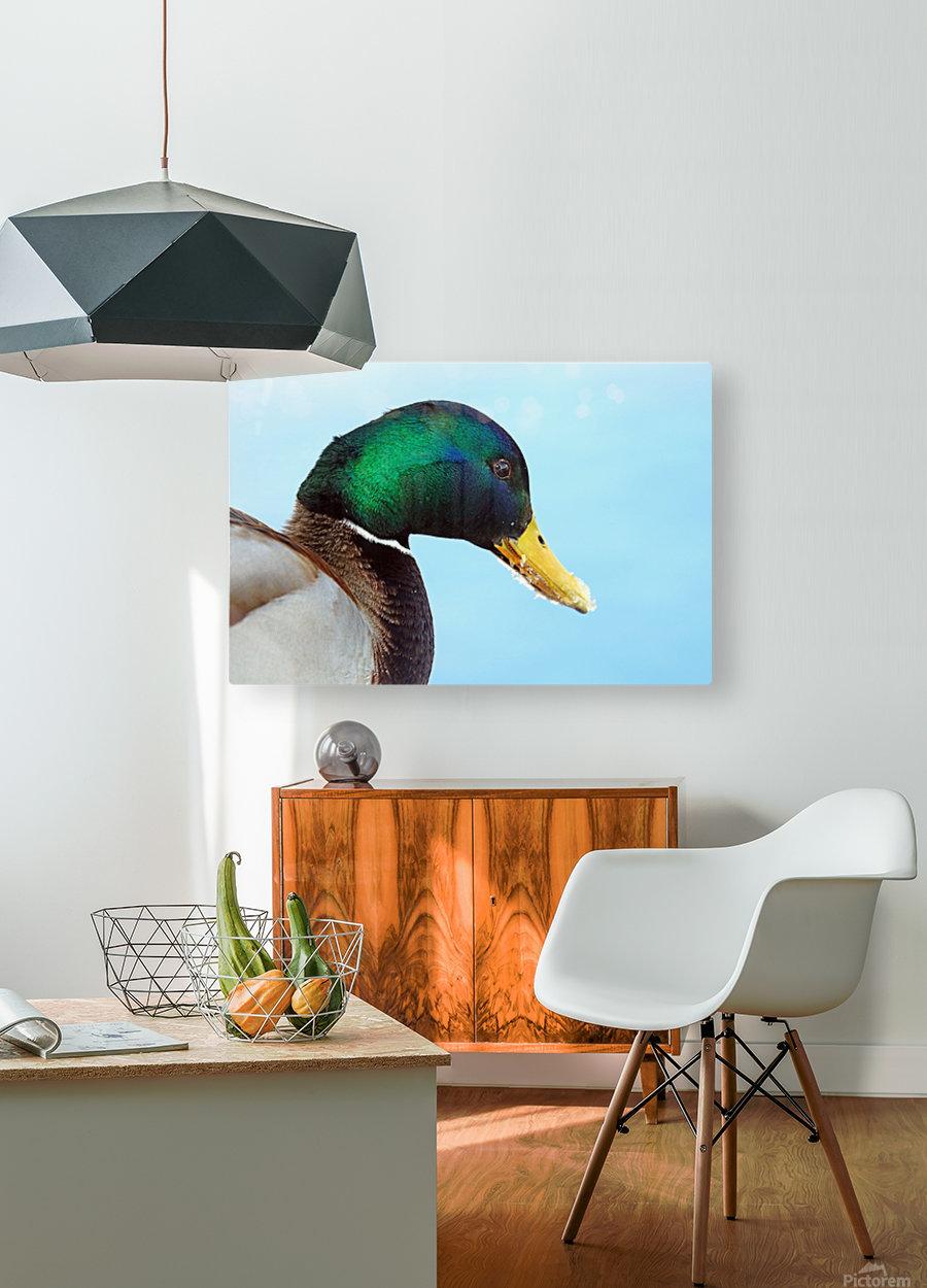 Drake Mallard Portrait II  HD Metal print with Floating Frame on Back