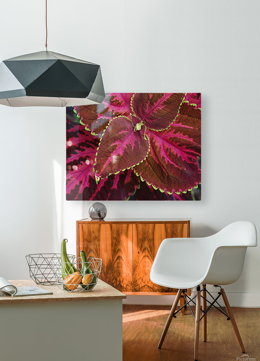 Coleus  HD Metal print with Floating Frame on Back