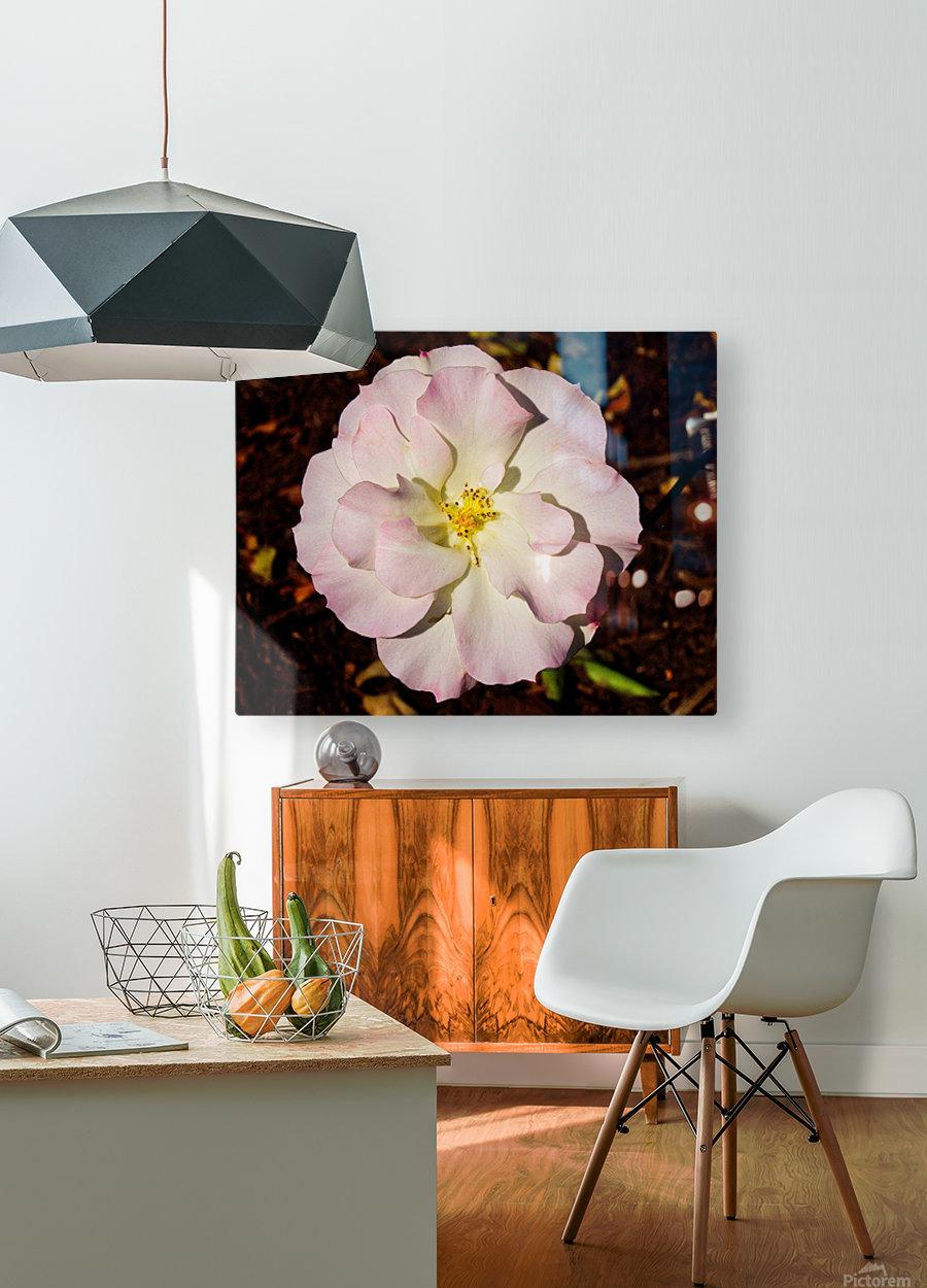 Pink Rose 2  HD Metal print with Floating Frame on Back