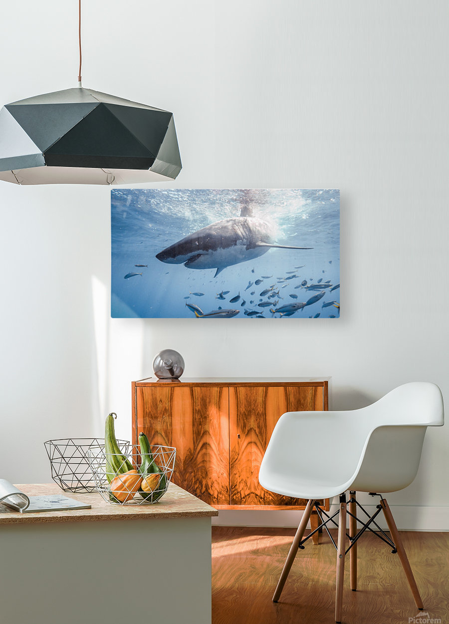 Great White Dive  HD Metal print with Floating Frame on Back