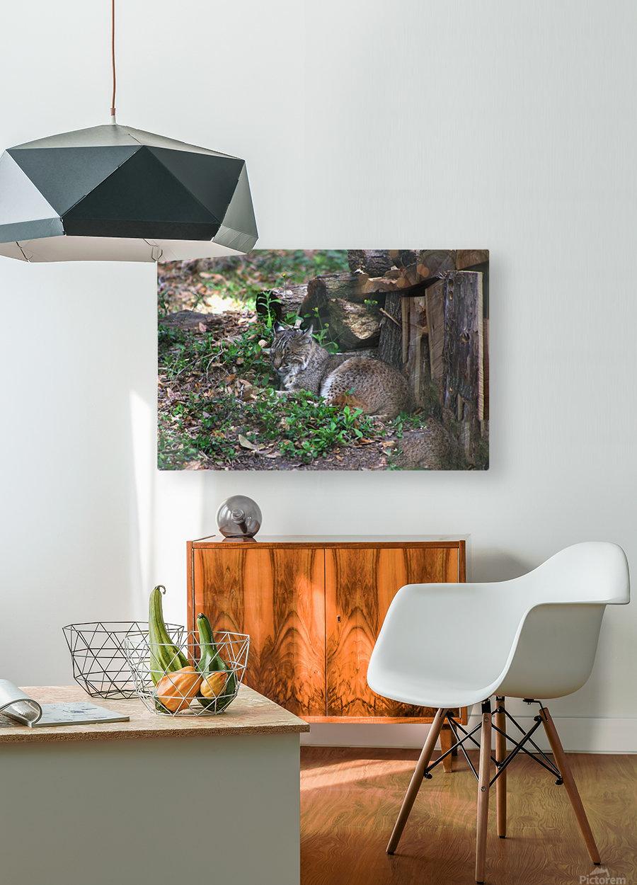 Bobcat  HD Metal print with Floating Frame on Back
