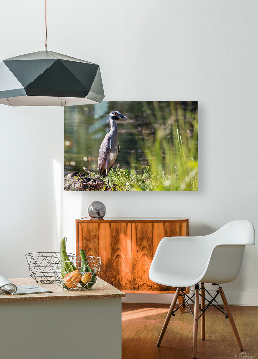 Yellow crowned Night Heron at Brick Pond Park 4690  HD Metal print with Floating Frame on Back