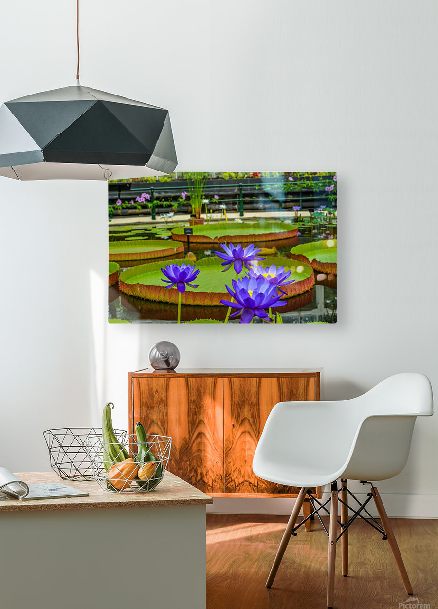 Purple water lily in a pond  HD Metal print with Floating Frame on Back