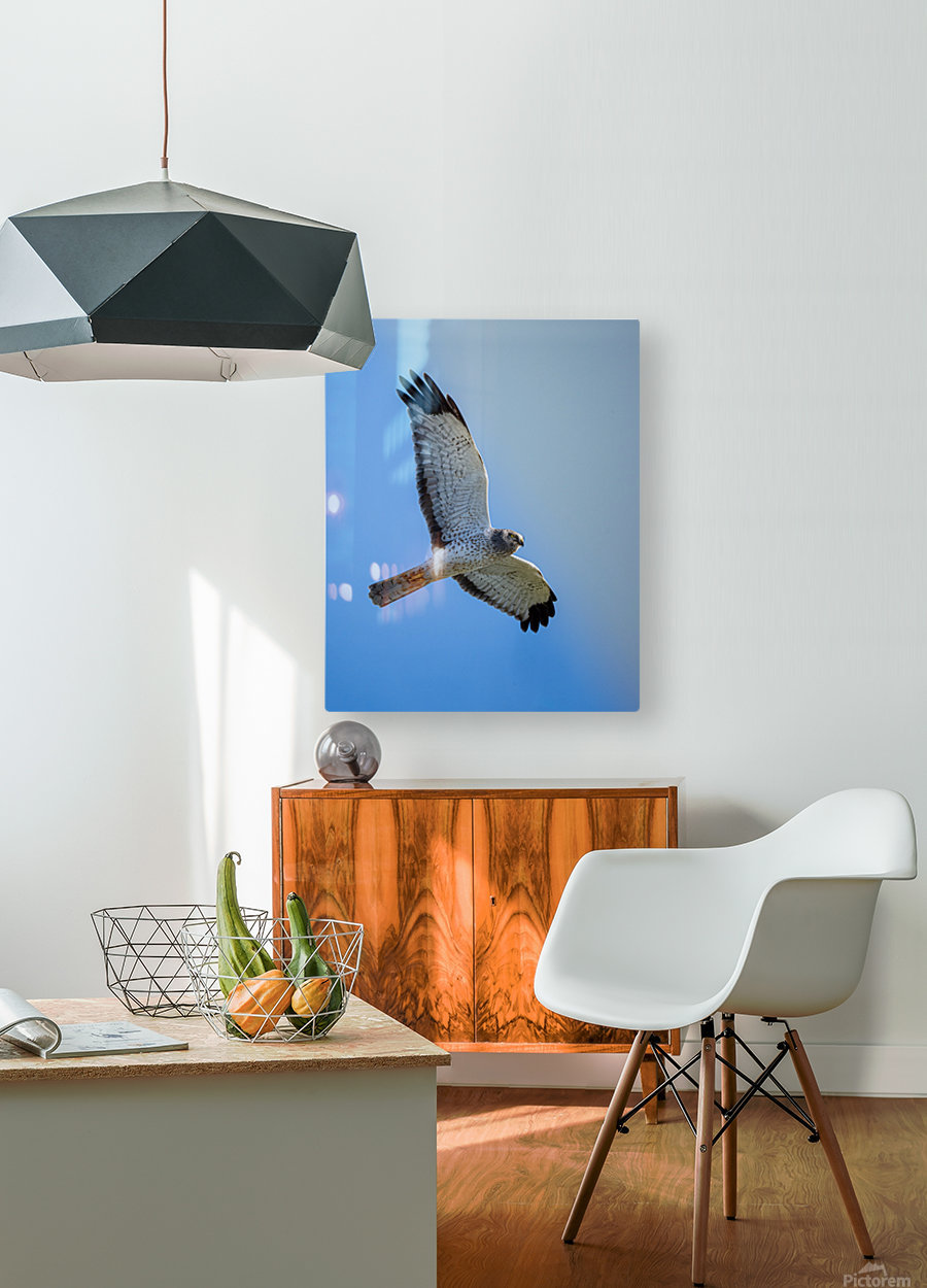 Northern Harrier in Flight  HD Metal print with Floating Frame on Back