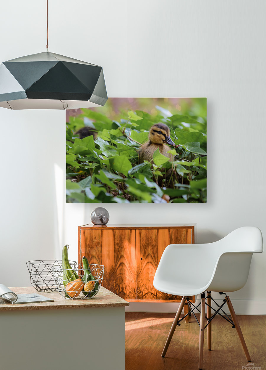 Duck In Plants  HD Metal print with Floating Frame on Back