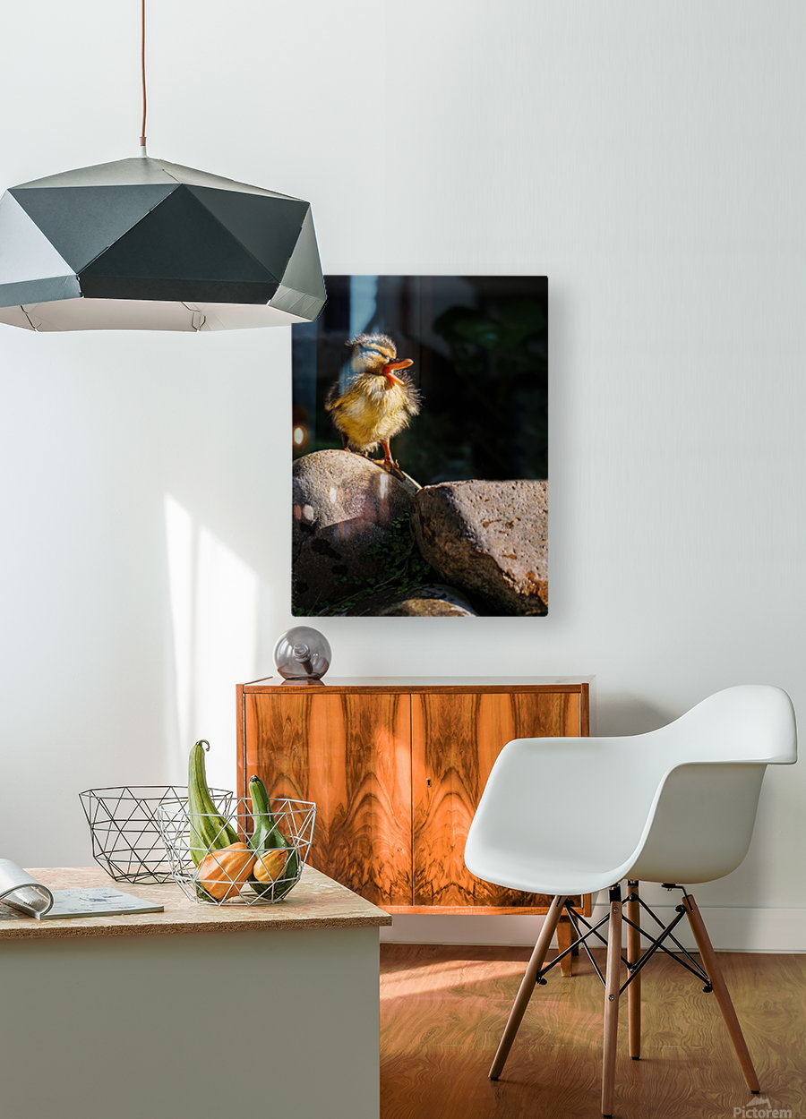 Quacking Duckling  HD Metal print with Floating Frame on Back