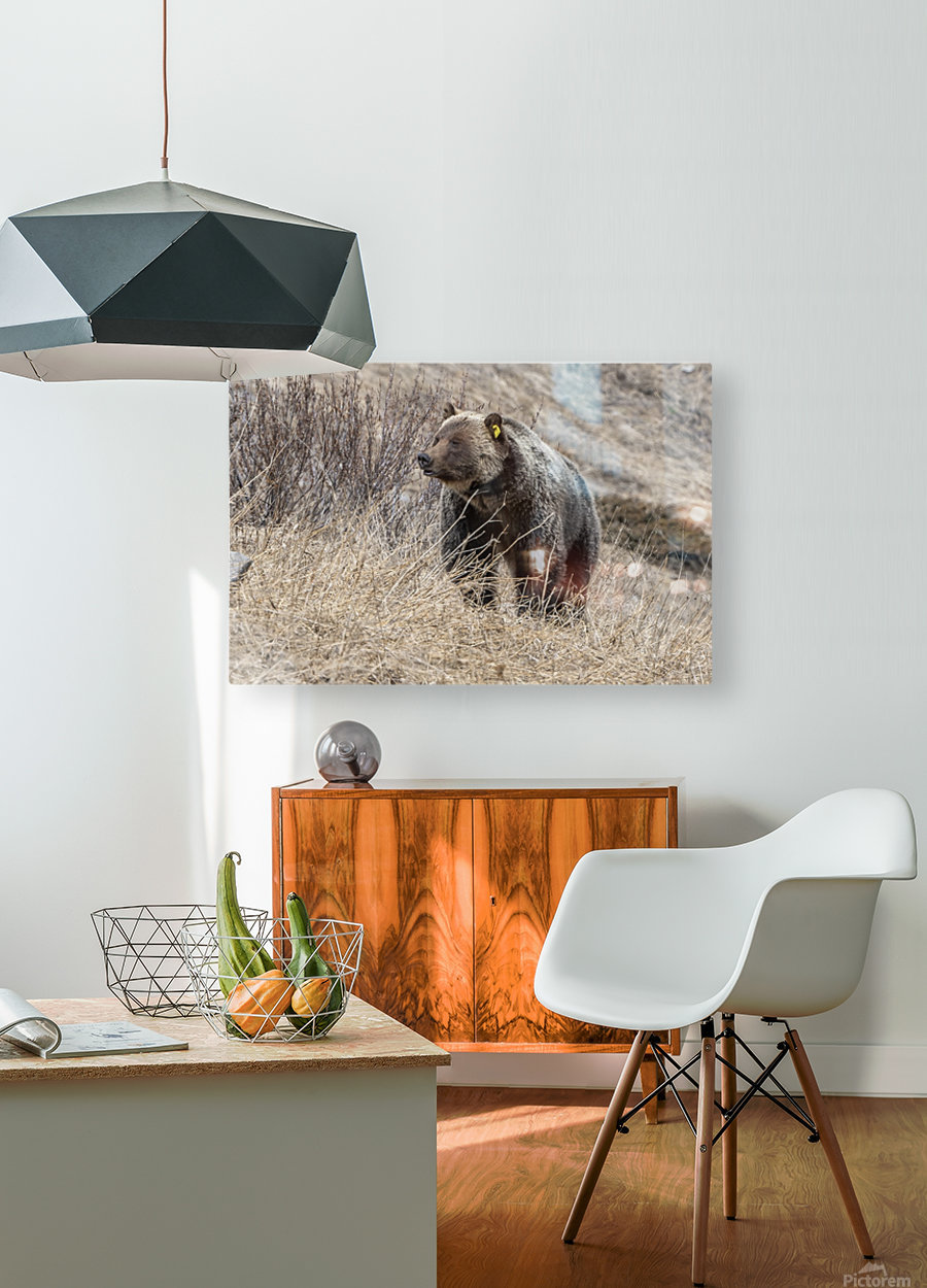 6897 - Grizzly Bear 2160  HD Metal print with Floating Frame on Back