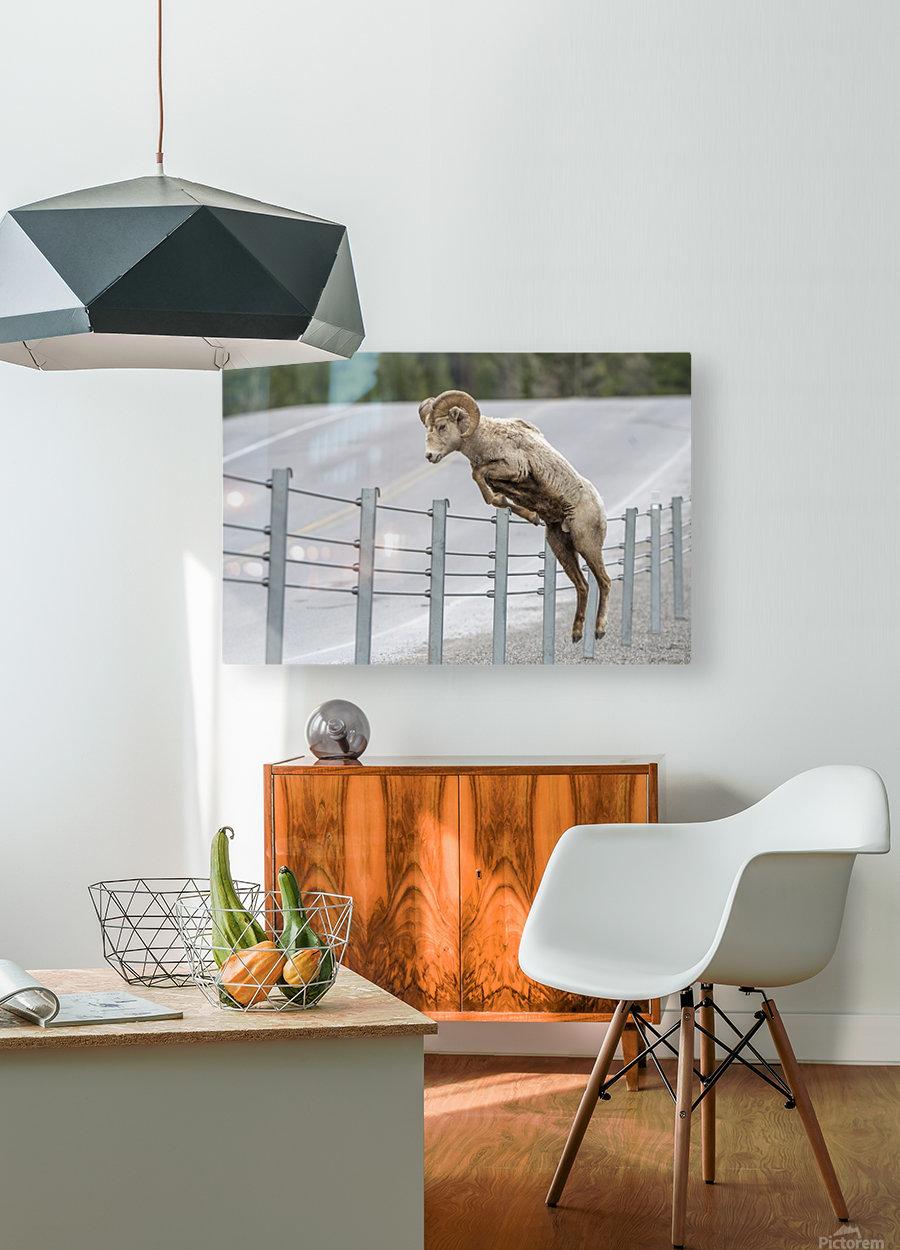 7585 - Bighorn Sheep - Kananaskis Country Alberta. Canada  HD Metal print with Floating Frame on Back