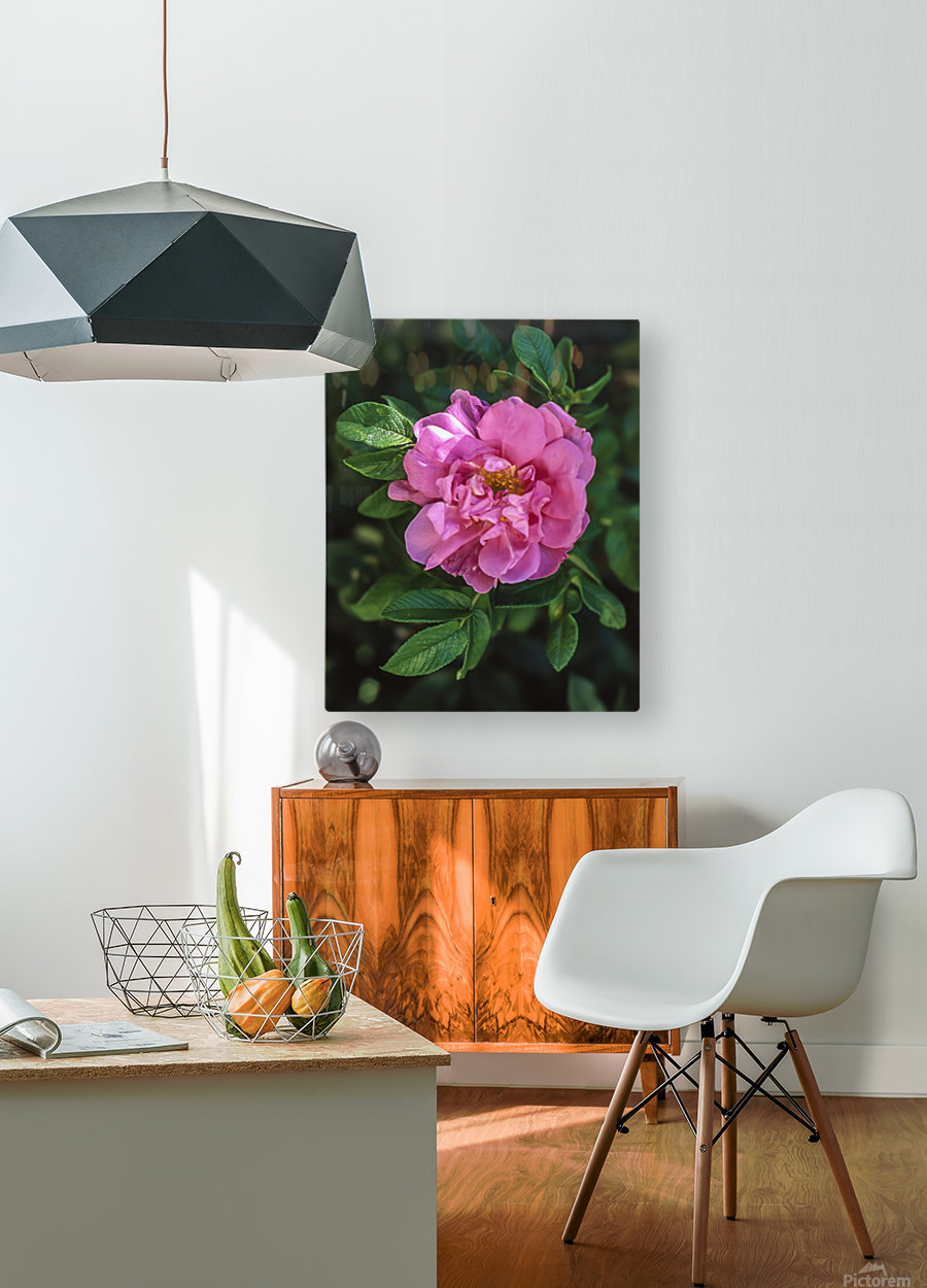 Last Rose of Fall  HD Metal print with Floating Frame on Back