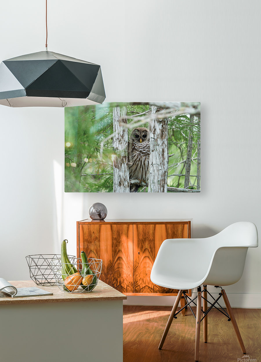 Barred Owl  HD Metal print with Floating Frame on Back