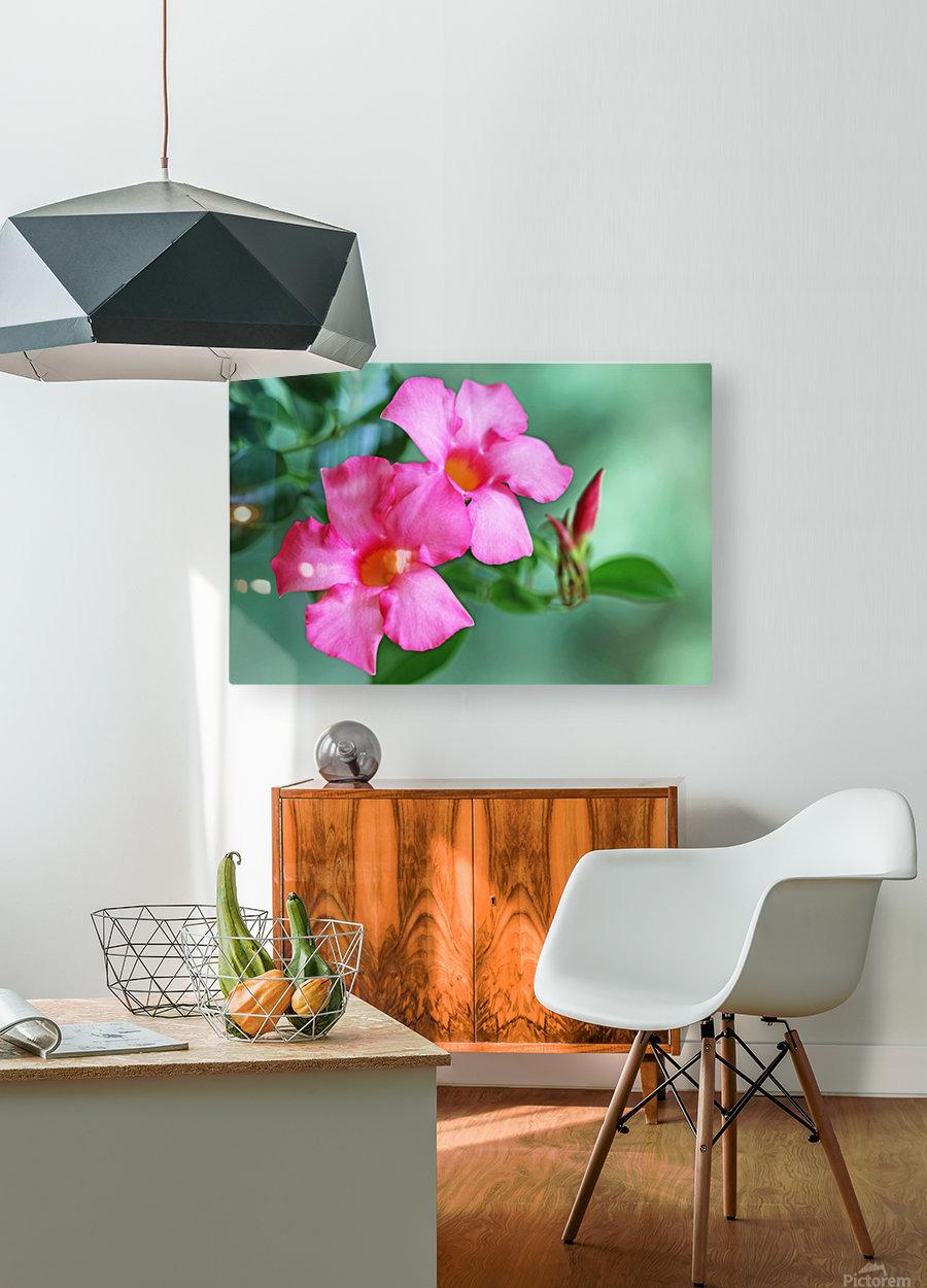 Mandevilla In Pink  HD Metal print with Floating Frame on Back