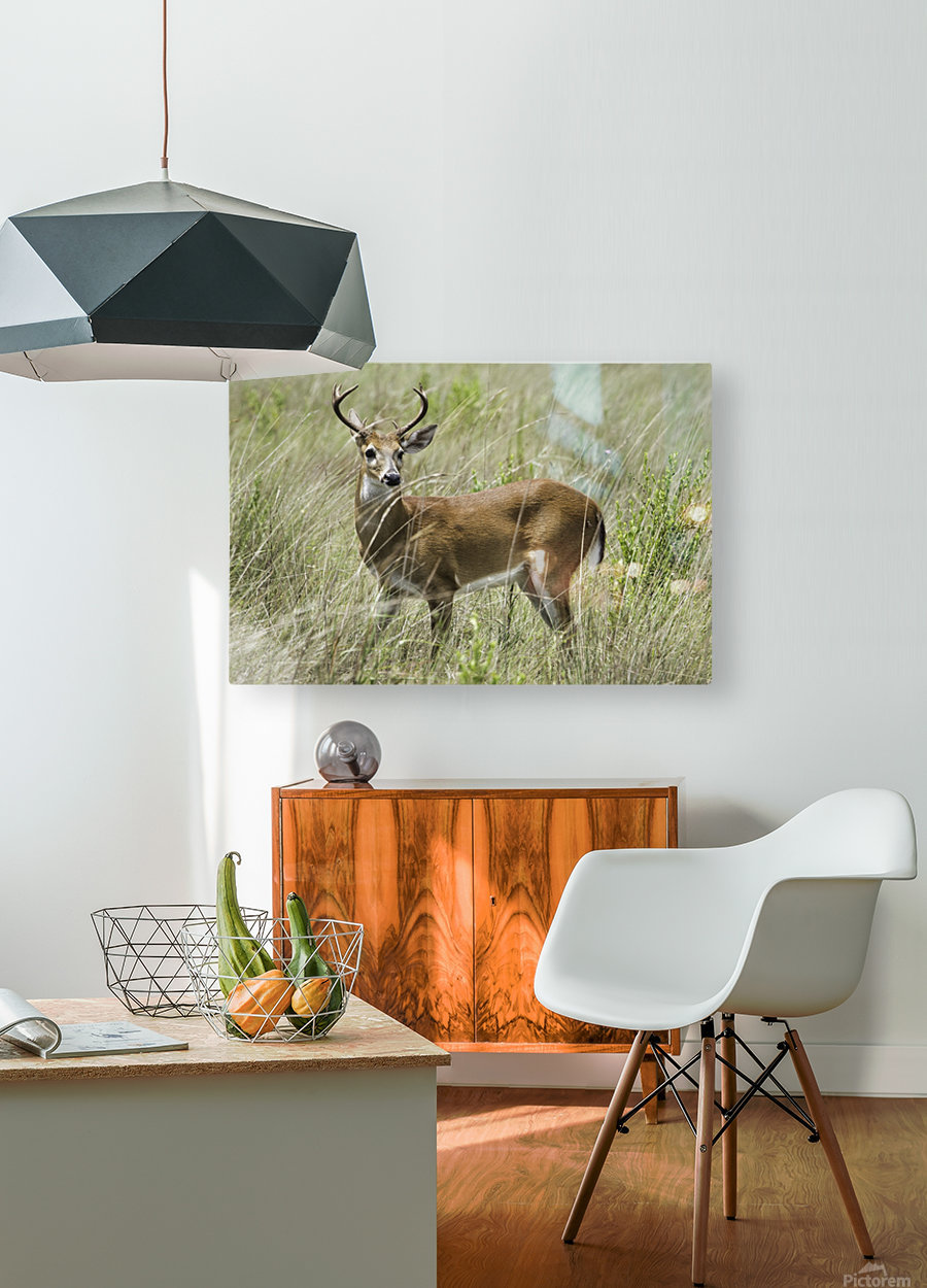 White Tailed Dear  HD Metal print with Floating Frame on Back
