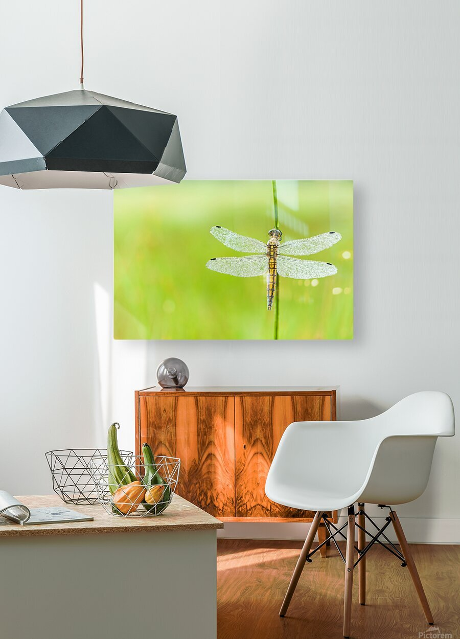 An Fire dragonfly  HD Metal print with Floating Frame on Back