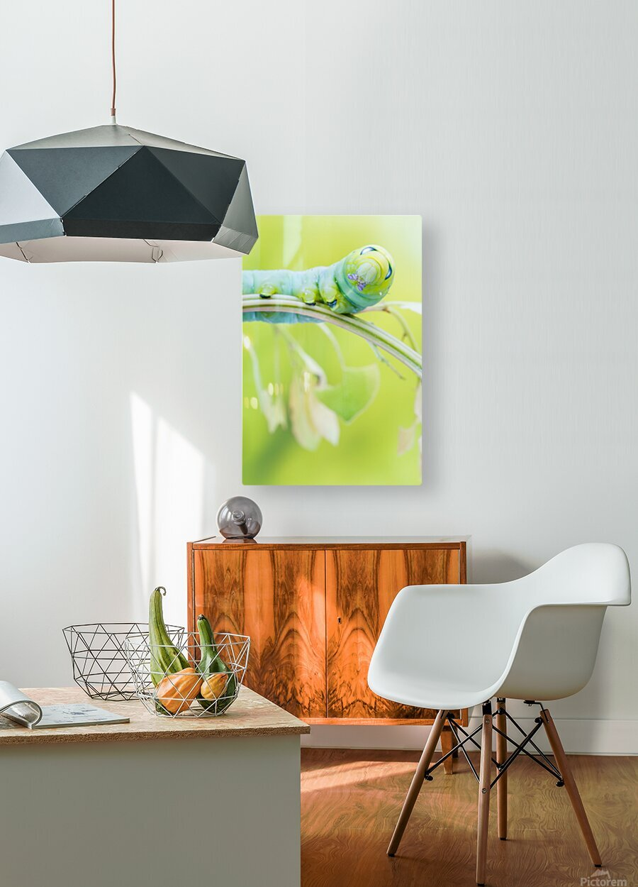 an Daphnis Nerii  HD Metal print with Floating Frame on Back