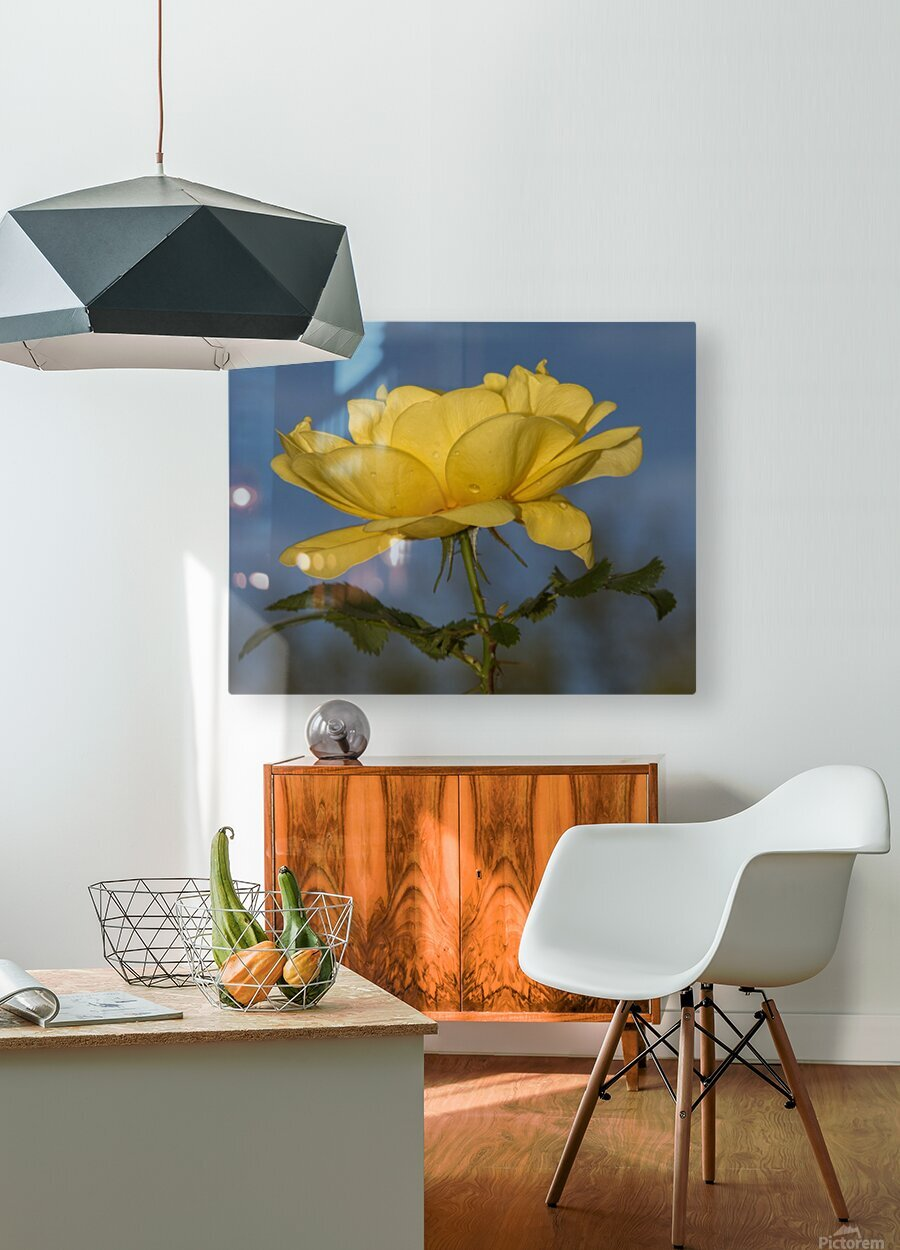 Yellow Rose Landscape  HD Metal print with Floating Frame on Back