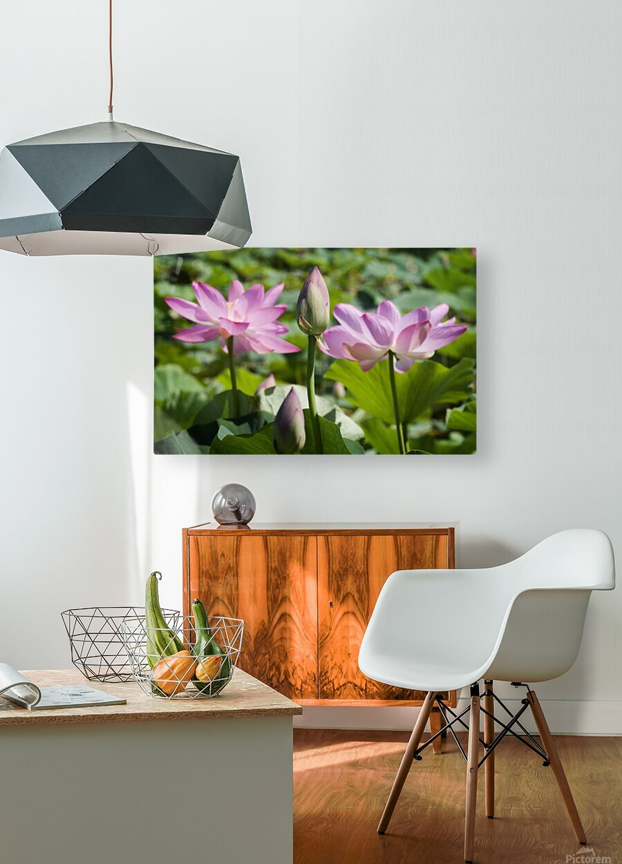 Lots bud with blooming lotus flowers behind  HD Metal print with Floating Frame on Back