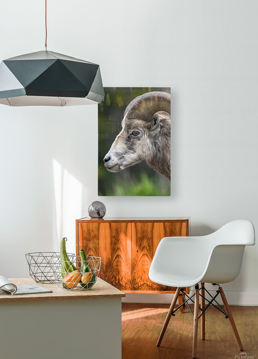 5512 - Big Horn Sheep  HD Metal print with Floating Frame on Back