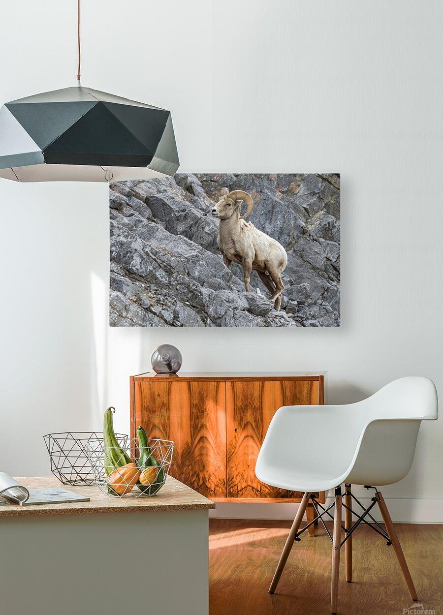 8016 - Big Horn Sheep  HD Metal print with Floating Frame on Back
