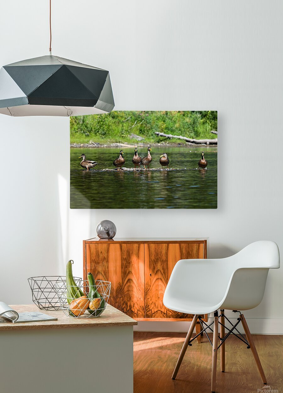 What the duck  HD Metal print with Floating Frame on Back